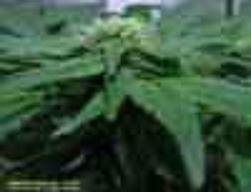 Deep Fast Marijuana Seeds – Strain Reviews – Old Dreams Genetics