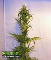 Nepal Highland Marijuana Seeds