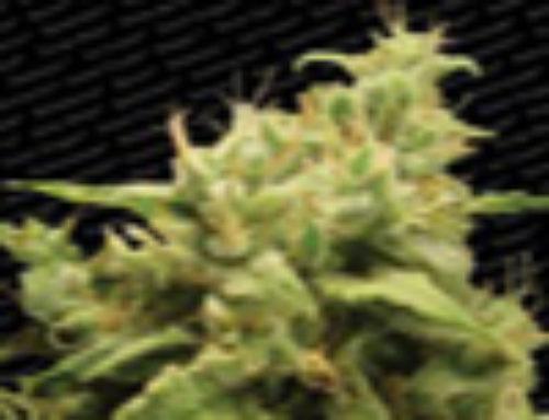 Opium Marijuana Seeds – Strain Reviews – Paradise Seeds