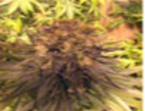 Purple Og Kush Marijuana Seeds – Strain Reviews – Riot Seeds
