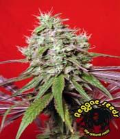 Dancehall Marijuana Seeds