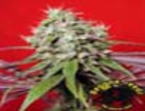 Dancehall Marijuana Seeds – Strain Reviews – Reggae Seeds