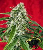 Dub Marijuana Seeds