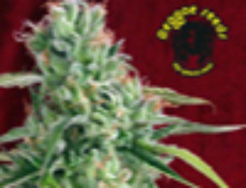 Juanita la Lagrimosa Marijuana Seeds – Strain Reviews – Reggae Seeds
