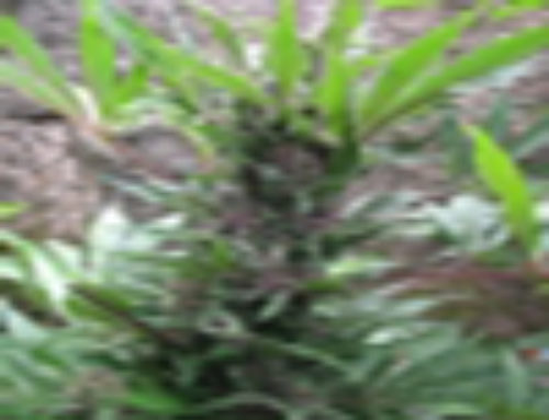 Royal Purple Kush Marijuana Seeds – Strain Reviews – Breeder Choice Organisation