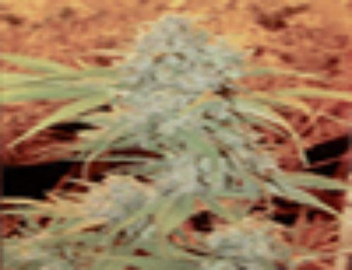 Shiesel Marijuana Seeds – Strain Reviews – Bonguru Seeds
