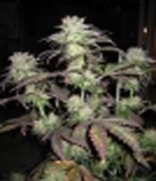 SoulFruit Marijuana Seeds