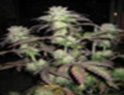 SoulFruit Marijuana Seeds – Strain Reviews – Breeder Choice Organisation