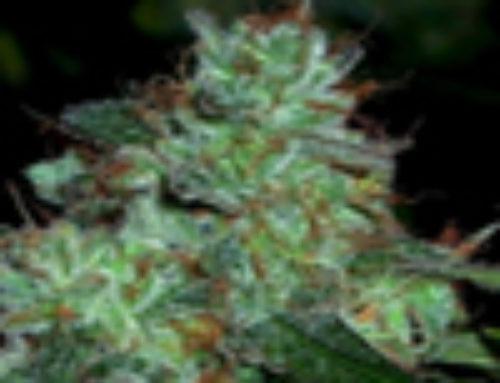 Swazi Highland Marijuana Seeds – Strain Reviews – Malberry Seeds