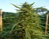 Early Maroc marijuana seeds