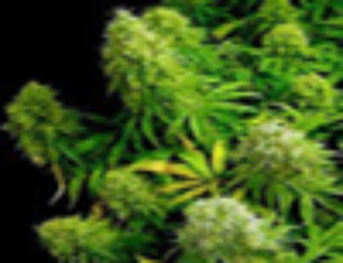 Highland Sunshine Marijuana Seeds – Strain Reviews – Simply Female Seeds
