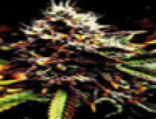 Spine Apple Marijuana Seeds – Strain Reviews – Simply Female Seeds