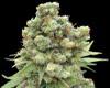 Williams Wonder marijuana seeds
