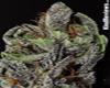 Purple Haze #2 marijuana seeds