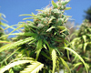 Dirty Girl Marijuana Seeds