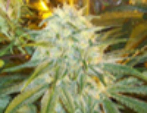 Orange Diesel Marijuana Seeds – Strain Reviews – Insane Seed Posse Seeds