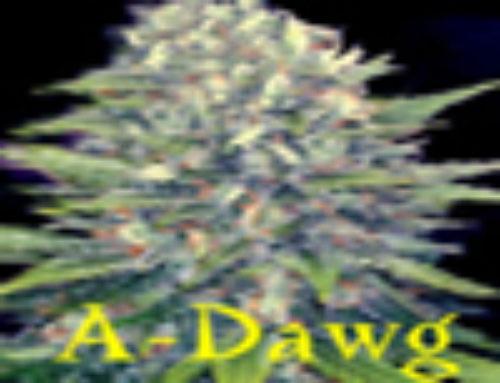 A-Dawg Marijuana Seeds – Strain Reviews – Insane Seed Posse Seeds