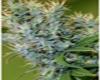 Otto #1 Marijuana Seeds