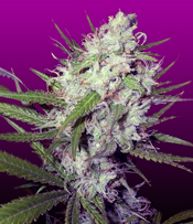 Dark Angel Marijuana Seeds