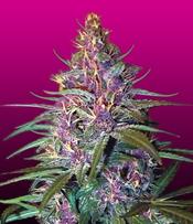 Purple Kush Marijuana Seeds