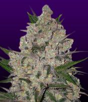 Zeus Marijuana Seeds