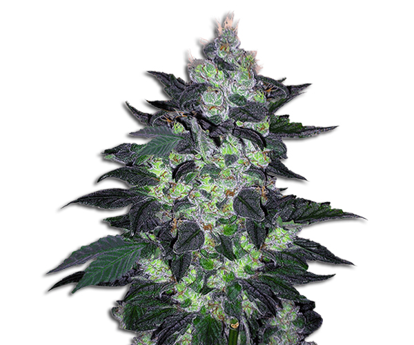candy cane strains