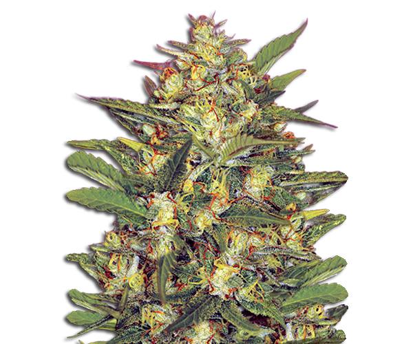 early vixen marijuana seeds