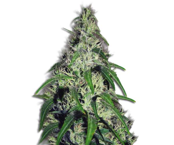 revolver marijuana seed