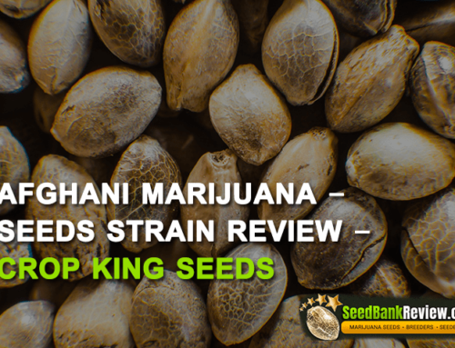 Afghani Marijuana Seeds – Strain Reviews – Crop King Seeds
