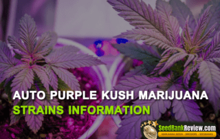 auto purple kush marijuana
