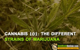 different strains of marijuana