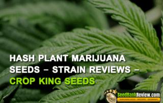 hash-plant-marijuana-seeds