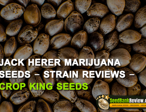 Jack Herer  Marijuana Seeds – Strain Reviews – Crop King Seeds