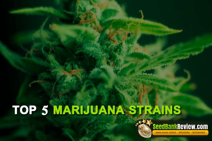 top marijuana strains