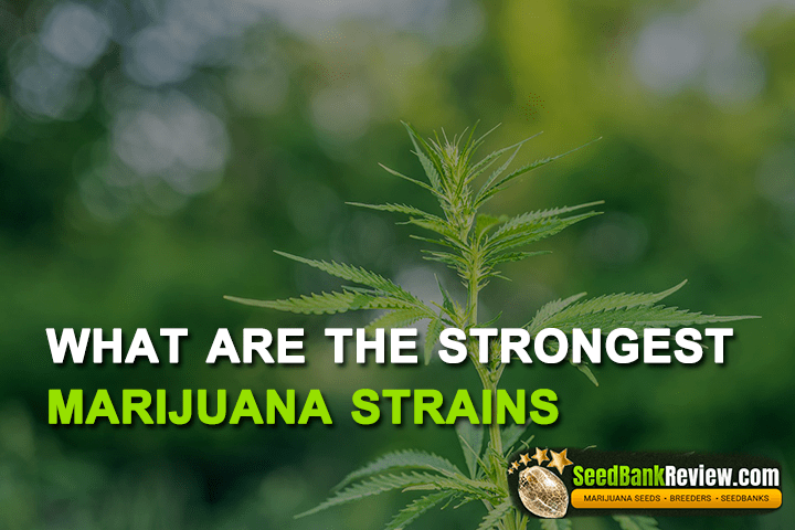 strongest marijuana strain