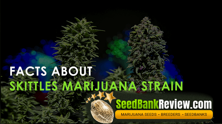 skittles marijuana strain