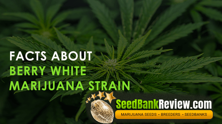 berry white marijuana strain