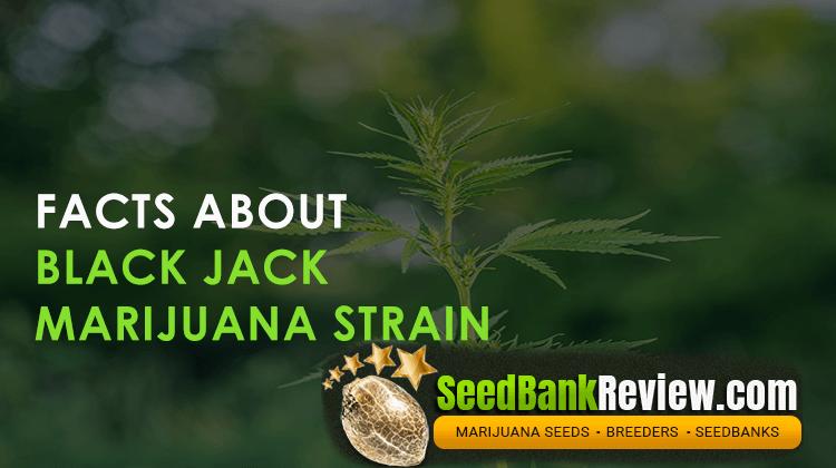 blackjack marijuana strain