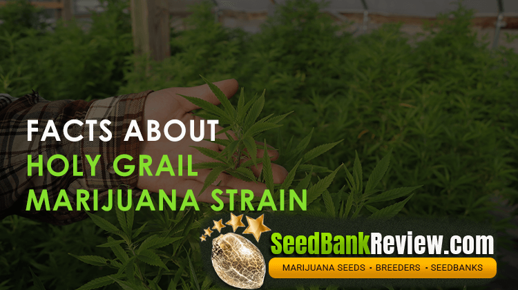 holy grail marijuana strain