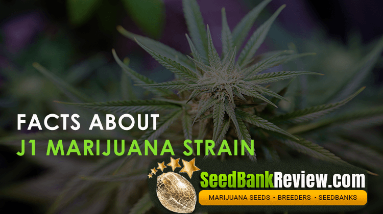 j1 marijuana strain