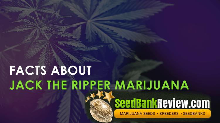 jack the ripper marijuana