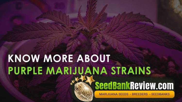 purple marijuana strains