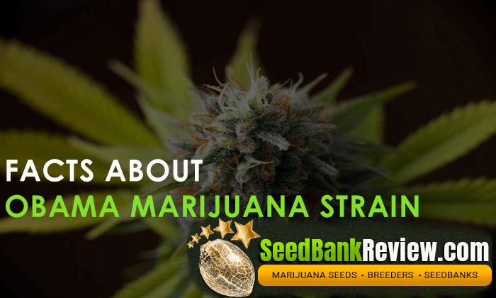obama marijuana strain