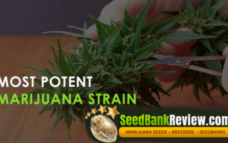 most potent marijuana strain